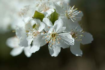 Cherry Plum Flowers