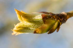 Chestnut Bud - Bach Flower Remedies