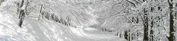 Snow covered trees lining a pathway