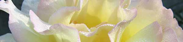Peace Rose Flower