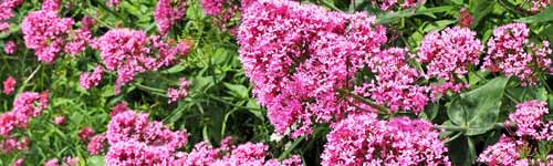 Karmic Flower Essences -  a beautiful Valerian flower, pink with green foliage.