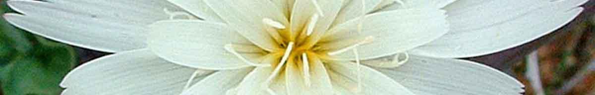 Chicory flower close up