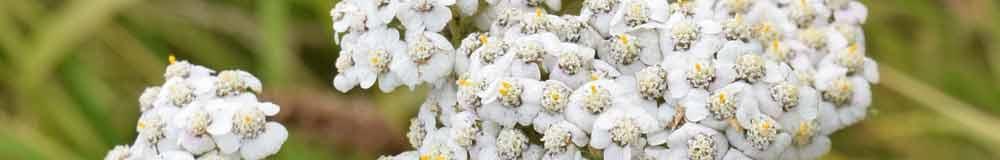 Skullcap flower close up