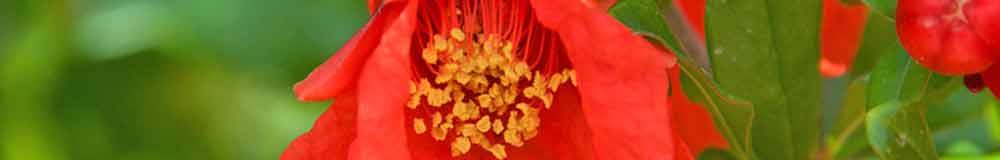 Pomegranate flower close up