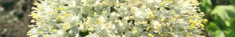 Osteospernum flower close up