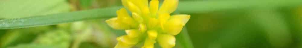 Shamrock flower close up
