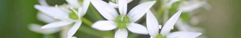 Garlic flower close up