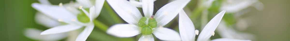Garlic Flowers close up - flower essence blog