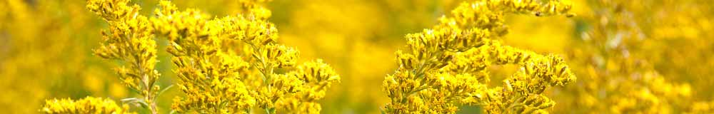 Golden Rod Flowers - How to Choose An Essence