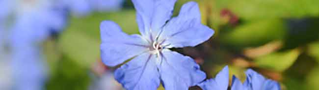 Cerato Flower