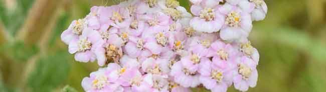 Vervain Flower