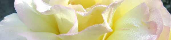 Peace Rose Flower