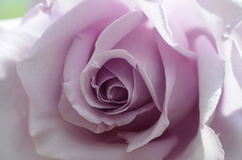 Blue Moon Rose Flower with light pink petals - from our Rose Flower Essences