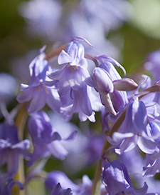Bluebell Flowers for self expression
