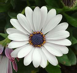 Osteospernum Flower