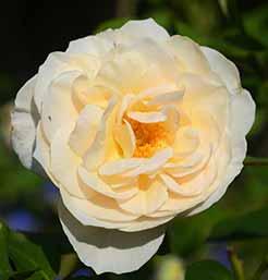 Perdita Rose Flower