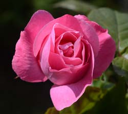 Pink Rose - Queen Elizabeth