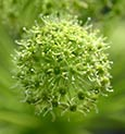 Angelica Flower