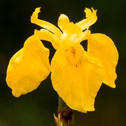 Wild Iris Flower