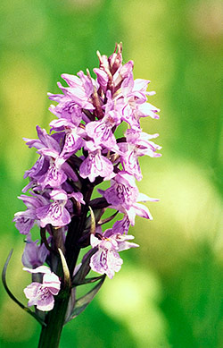 Trusting Your Intuition Wild Orchid Flower Essence