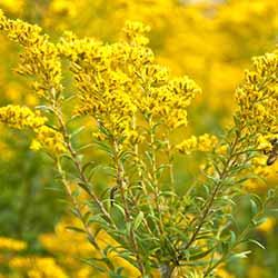 Golden Rod Flower